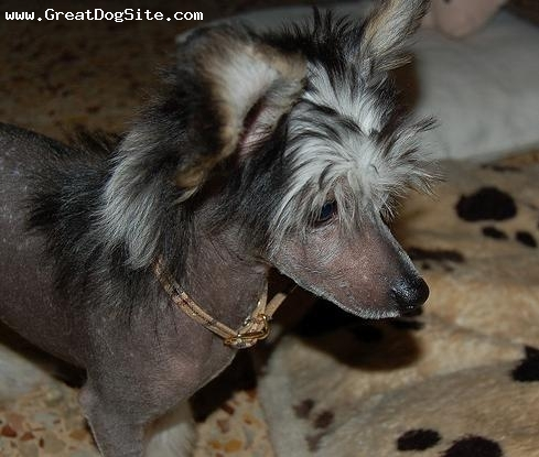Chinese Crested, 1.5 years, Black, just got his mohawk